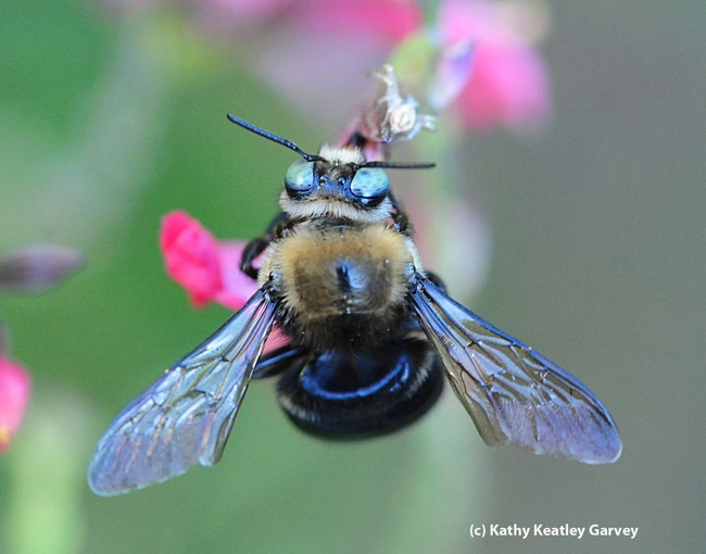 Close-up of male carpenter bee, Xylocopa tabaniformis orpifex. (Photo by Kathy Keatley Garvey)