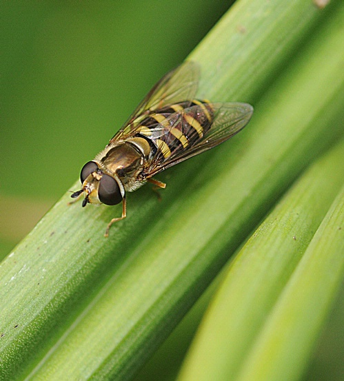Head of Hover Fly
