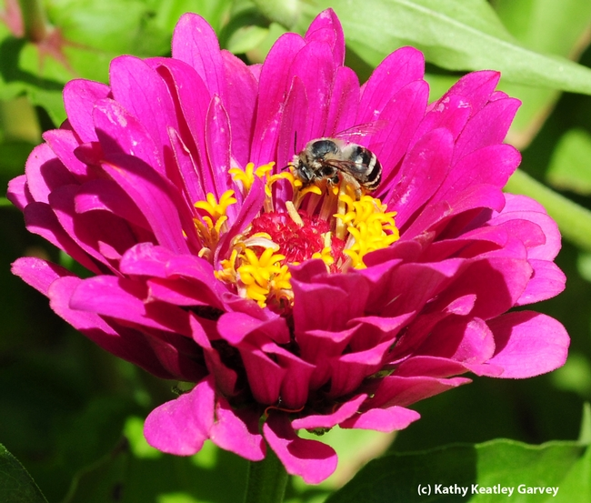 Female digger bee,  Anthophora urbana, on zinnia. (Photo by Kathy Keatley Garvey),