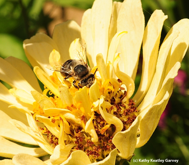 Female digger bee, Anthophora urbana, peers over the petals of a zinnia. (Photo by Kathy Keatley Garvey)