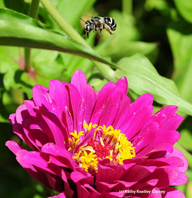Caught in flight, a female digger bee, Anthophora urbana, heads for a zinnia. (Photo by Kathy Keatley Garvey)