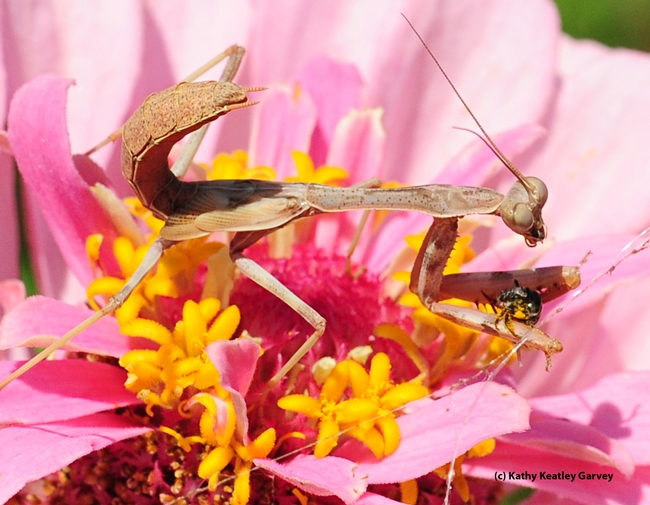 Praying mantis continues to eat the sweat bee. (Photo by Kathy Keatley Garvey)