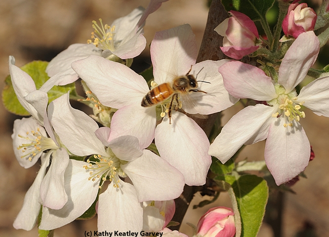 This photo of a honey bee on an almond blossom will appear on the WAS conference t-shirt. (Photo by Kathy Keatley Garvey)