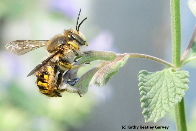 Male European wool carder bee heads for a catmint (Nepeta) leaf. (Photo by Kathy Keatley Garvey)