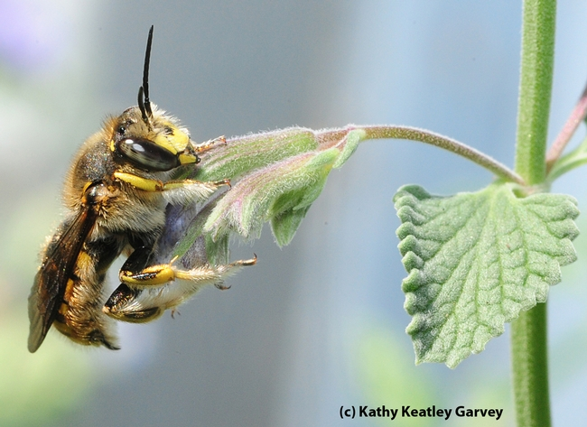 Male European wool carder bee on catmint (Nepeta). (Photo by Kathy Keatley Garvey)