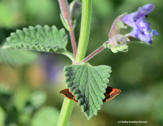 What's behind the catmint leaf (Nepeta)? (Photo by Kathy Keatley Garvey)