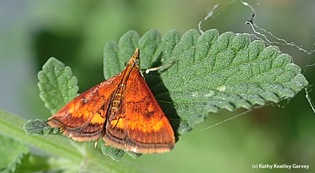 Close-up of California Pyrausta Moth (Pyrausta californicalis) on catmint. (Photo by Kathy Keatley Garvey)