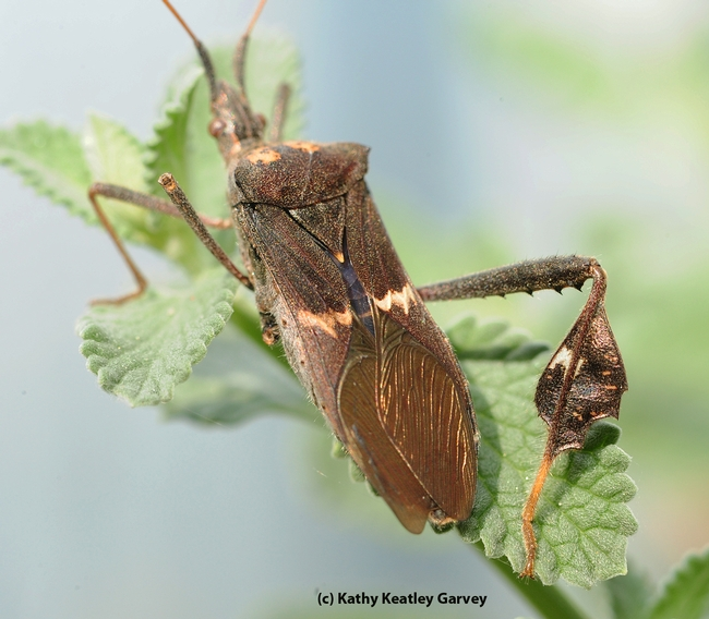 Close-up of leaffooted bug. (Photo by Kathy Keatley Garvey)