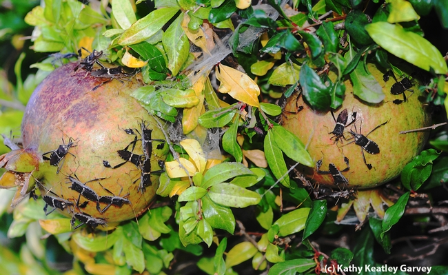 Leaffooted bugs making pomegranates their kitchen, living room and bedroom. (Photo by Kathy Keatley Garvey)