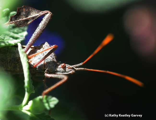 Beady eyes, colorful antennae and appendages on its feet that look like leaves. (Photo by Kathy Keatley Garvey)