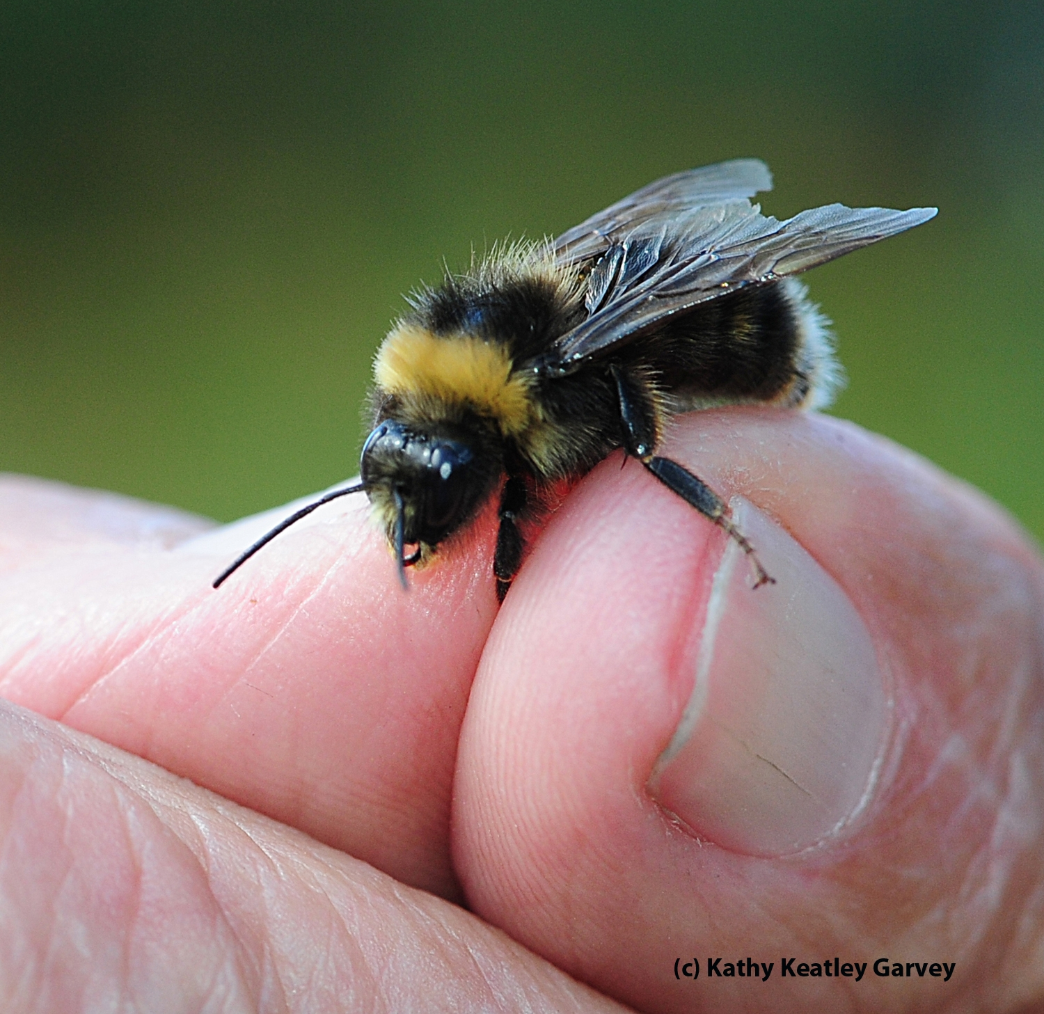 eureka a western bumble bee bug squad anr blogs