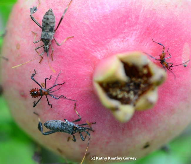 Leaffooted bugs, adults and nymphs, share a pomegranate. (Photo by Kathy Keatley Garvey)