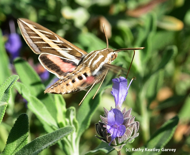 White-lined sphinx moth heads for salvia (sage). (Photo by Kathy Keatley Garvey)
