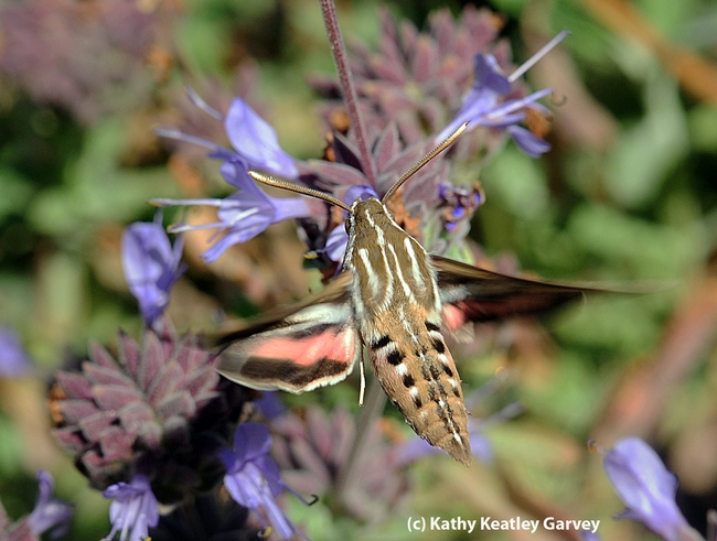 View from above of the white-lined sphinx moth. (Photo by Kathy Keatley Garvey)
