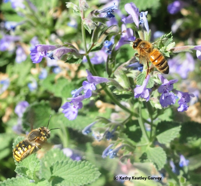 Male European carder bee (left) targets a honey bee on catmint. (Photo by Kathy Keatley Garvey)