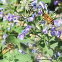 Male European carder bee (left) targets a honey bee on catmint. (Photo by Kathy Keatley Garvey)