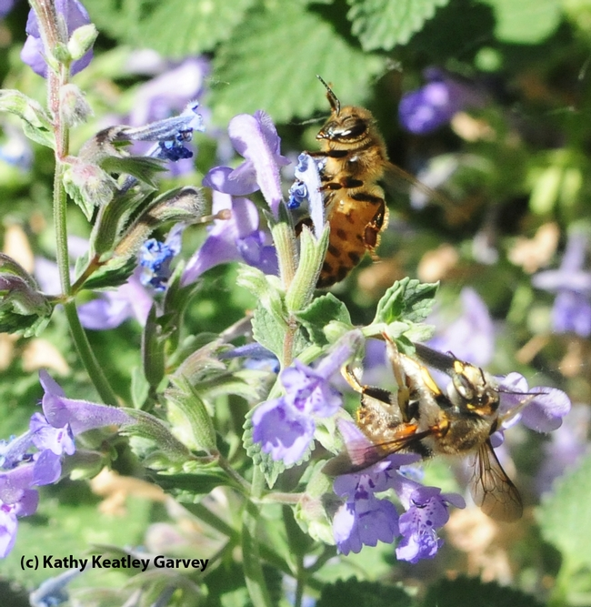 The force knocks over the male European carder bee. (Photo by Kathy Keatley Garvey)