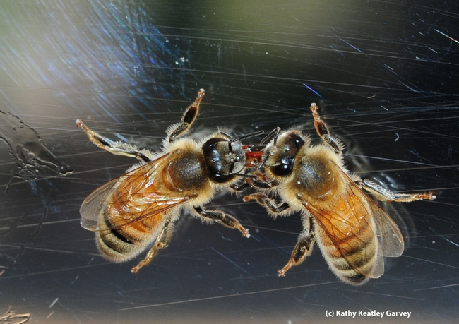 Worker bees--sisters--sharing nectar at the Harry H. Laidlaw Jr. Honey Bee Research Facility at the University of California, Davis. (Photo by Kathy Keatley Garvey)