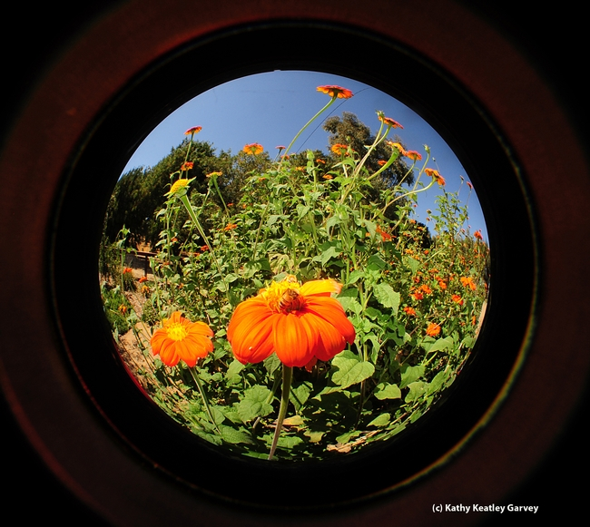 Fisheye of Mexican sunflowers (Tithonia) in the Haagen-Dazs Honey Bee Haven. (Photo by Kathy Keatley Garvey)