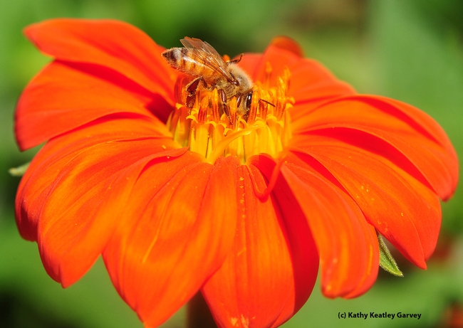 A honey bee foraging on a Mexican sunflower (Tithonia). (Photo by Kathy Keatley Garvey)