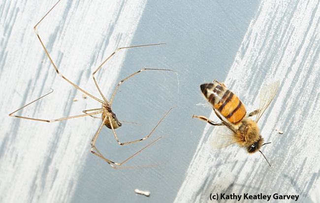 Honey bee is snared in the web of a garden spider. (Photo by Kathy Keatley Garvey)