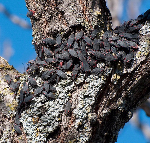 SOAPBERRY BUGS--These seed-feeder bugs (Jadera haematoloma) attract a lot of attention. (Photo by James Moehrke)