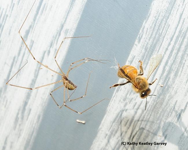 The spider edges closer. (Photo by Kathy Keatley Garvey)