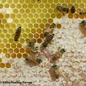 A frame of honey at the Harry H. Laidlaw Jr. Honey Bee Research Facility, UC Davis. (Photo by Kathy Keatley Garvey)