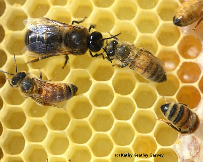 A drone (male bee), distinguished by its large, wrap-around eyes and stouter body, mingles with his sisters. (Photo by Kathy Keatley Garvey)
