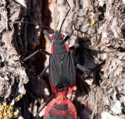RED SHOULDERS--The red-shouldered soapberry bugs are also known as