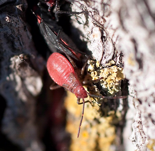 THE YOUNG AND THE RESTLESS--The nymph  (bright red) of the soapberry bug scurries down a tree trunk. (Photo by James Moerhke)