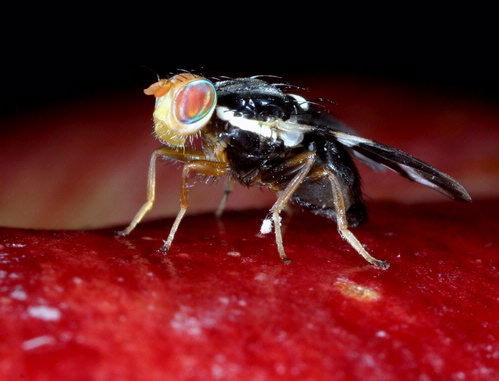 Apple Maggot Fly