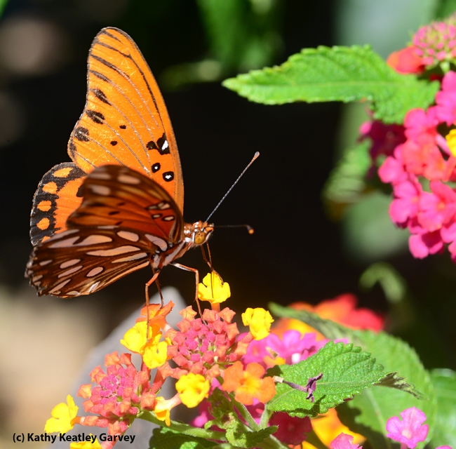 The Gulf Fritillary is one of the showiest butterflies in California, according to butterfly expert Art Shapiro of UC Davis. (Photo by Kathy Keatley Garvey)