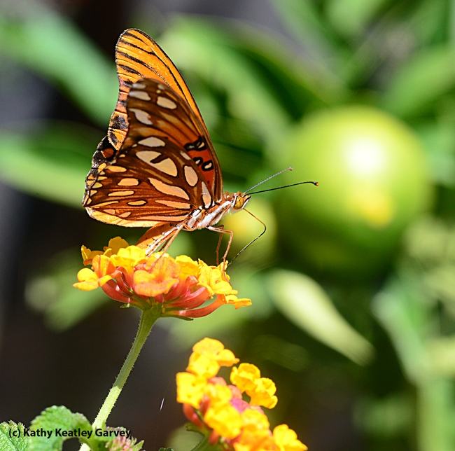 On its underside, the Gulf Fritillary is spangled in iridescent silver. (Photo by Kathy Keatley Garvey)