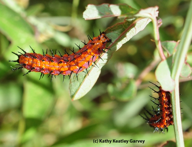 Two Gulf Fritillary caterpillars chowing down on the leaves of a passion flower vine. (Photo by Kathy Keatley Garvey)