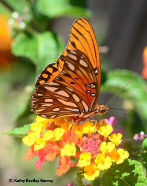 Gulf Fritillary on lantana. (Photo by Kathy Keatley Garvey)