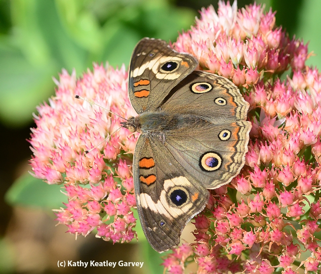 Buckeye (Junonia coenia) spreads its wings on sedum. (Photo by Kathy Keatley Garvey)