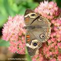 Buckeye (Junonia coenia) spreads its wings on sedum. (Photo by Kathy Keatley Garvey)