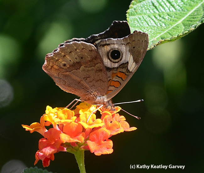 Buckeye perched on lantana. (Photo by Kathy Keatley Garvey)