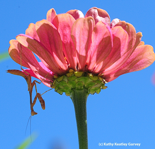 Praying mantis hangs upside down on a zinnia. (Photo by Kathy Keatley Garvey)