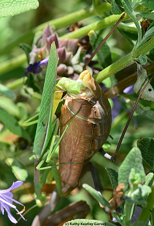 Mating pair of praying mantids. The green one (left) is the male. (Photo by Kathy Keatley Garvey)