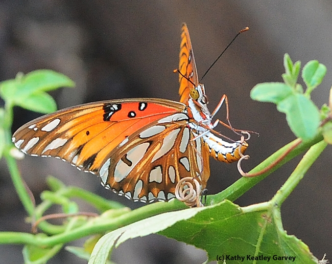 A Gulf Fritillary butterfly in the process of laying an egg on a passion flower vine. (Photo by Kathy Keatley Garvey)