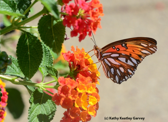 The silver-spangled underside of the Gulf Fritillary, shown here nectaring lantana. (Photo by Kathy Keatley Garvey)