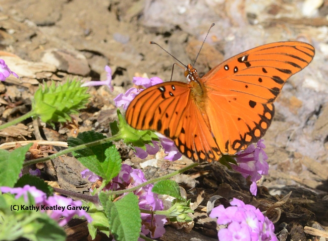 Gulf Fritillary spreading its wings on lantana. (Photo by Kathy Keatley Garvey)