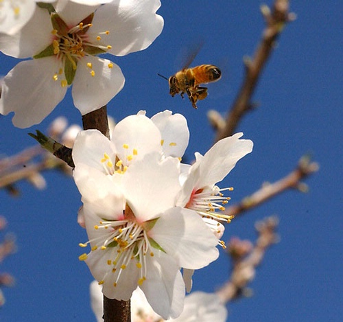 Honey bee and almond blossom