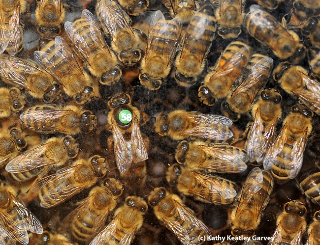 Honey bees are considered a superorganism. Here worker bees form a retinue around the queen. (Photo by Kathy Keatley Garvey)