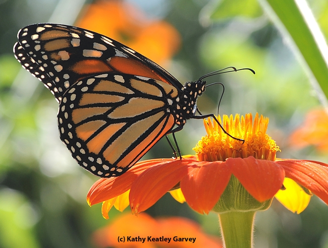 Monarch butterfly nectaring a Mexican sunflower (Tithonia). (Photo by Kathy Keatley Garvey)