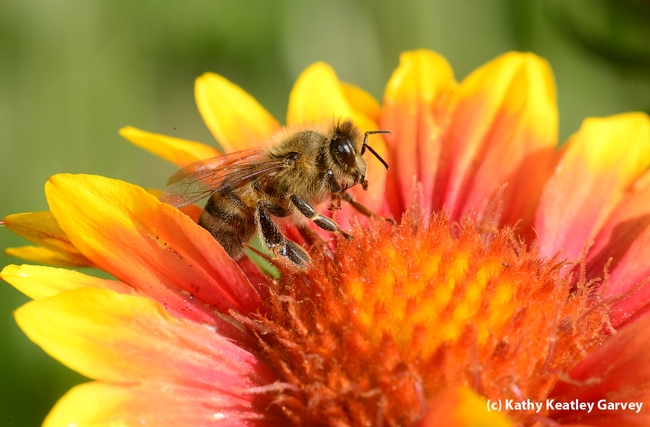 Honey bee on a blanket flower, Gaillardia. (Photo by Kathy Keatley Garvey)