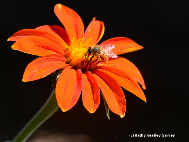 Honey bee on a Mexican sunflower (Tithonia). (Photo by Kathy Keatley Garvey)