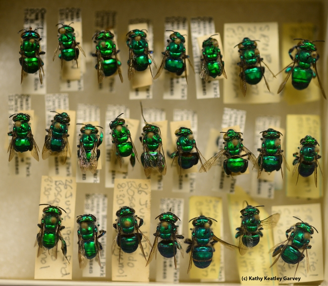 New World orchid bees at the Bohart Museum of Entomology. (Photo by Kathy Keatley Garvey)